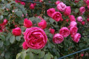rose-123312